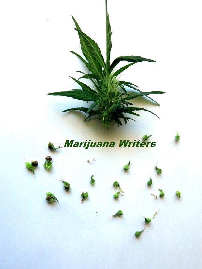 marijuana_pollen___cannabis_plants_by_transmitdistort-d5azks1